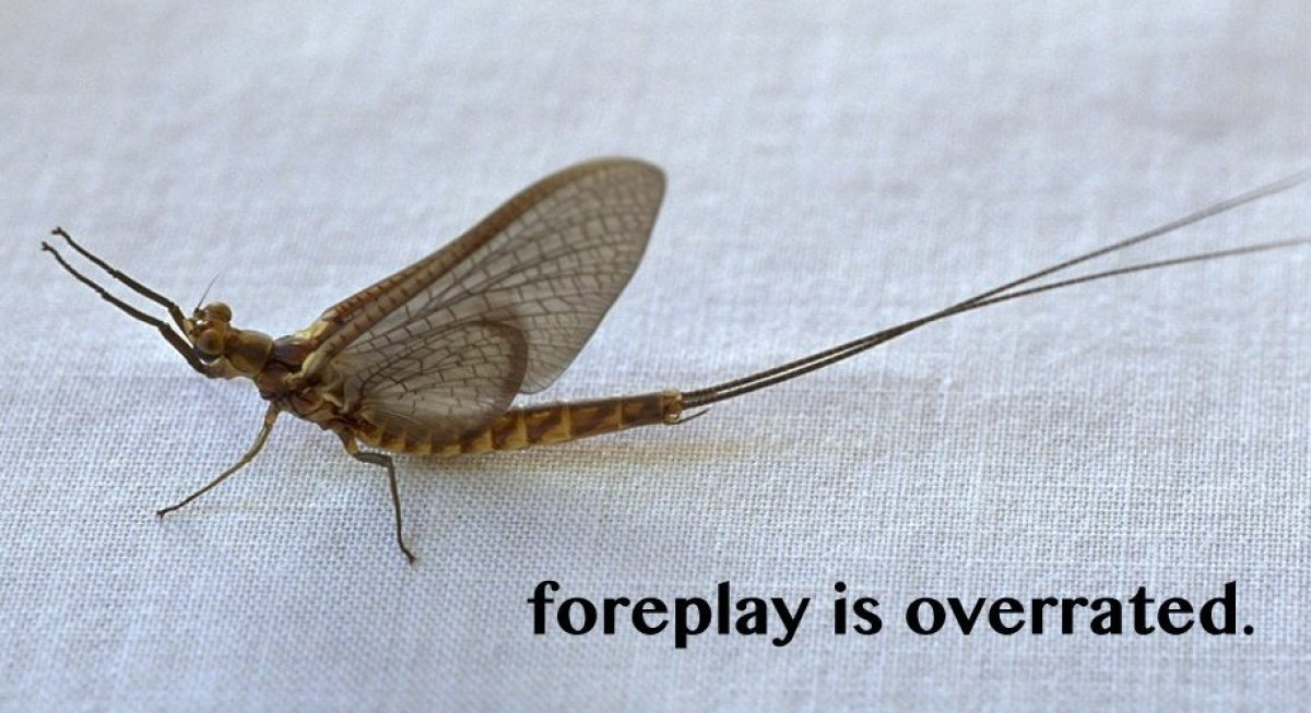 <em>Mayfly. Photo © Harold E. Malde</em><strong>Mayflies—Speed Mating</strong>