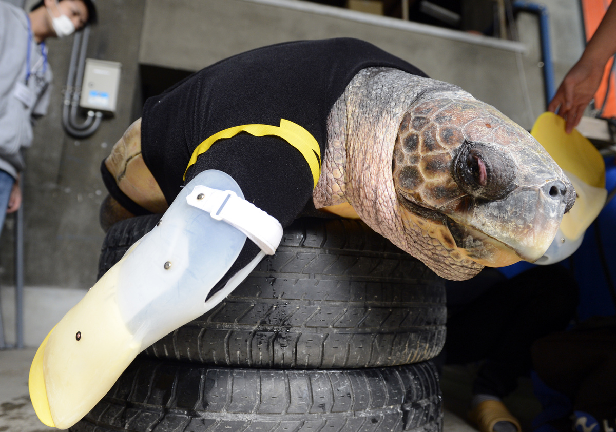 Yu, an approximately 25-year-old female loggerhead turtle, receives her 27th pair of artificial front legs at the Suma Aquali