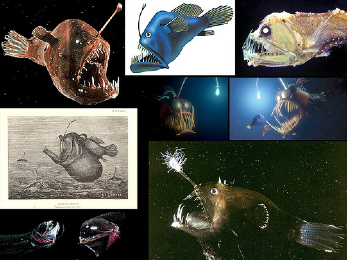 It's almost impossible to catch a male angler fish. Why? They don't exist for very long. When a male angler fish is born, it
