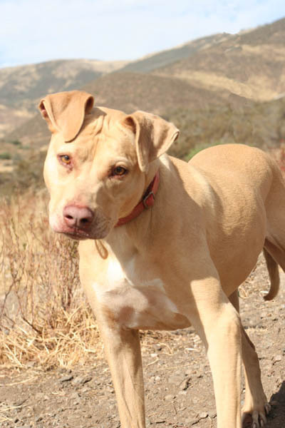 "Twinkie is one of the pit bulls featured in Animal Planet's show ""Pit bulls and Parolees."""