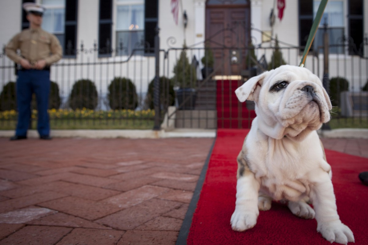 Chesty, future Marine Corps mascot, sits on the red carpet in front of the Home of the Commandants waiting to meet Bonnie Amo