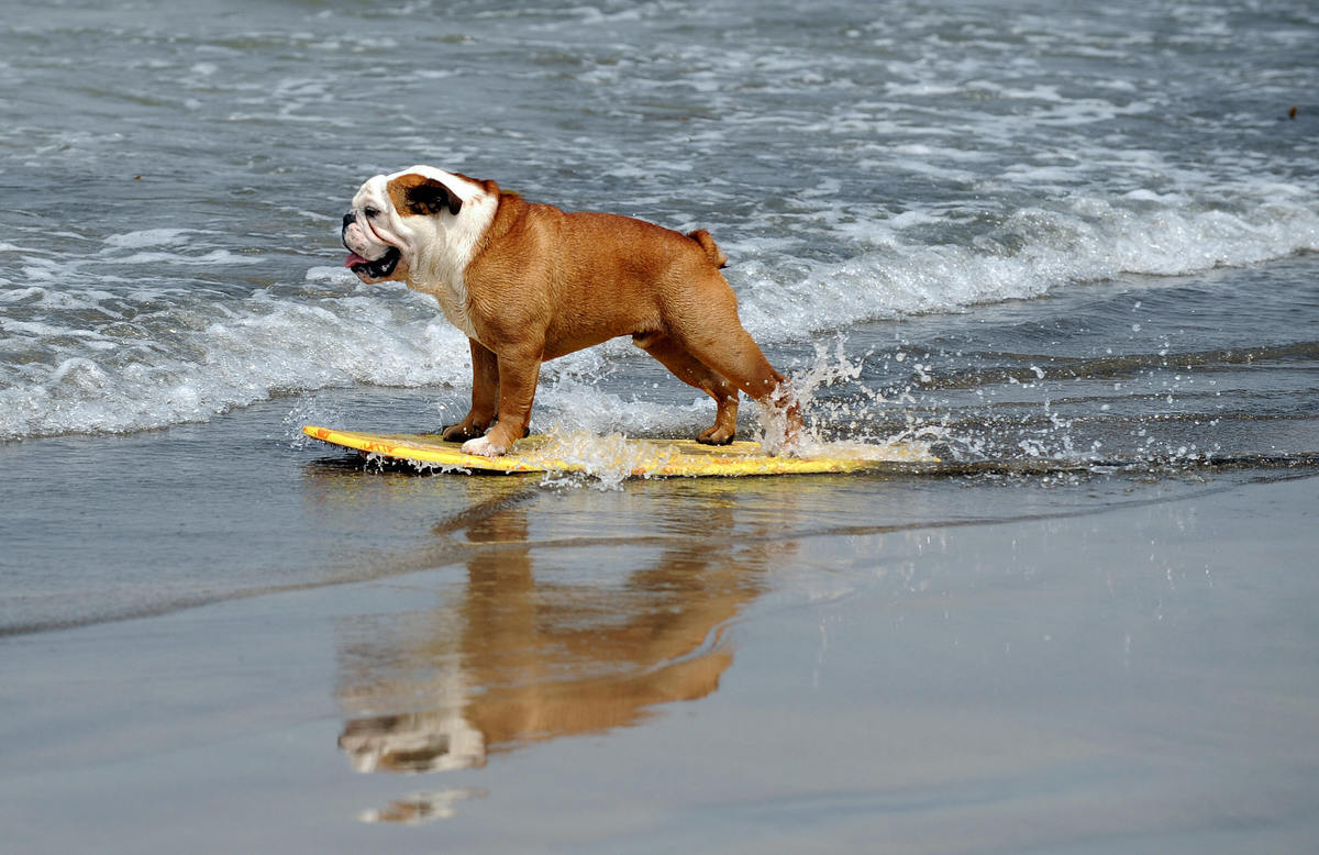 A dog participates at the 3rd Annual Loews Coronado Bay Resort surf dog competition in Imperial Beach, south of San Diego, Ca