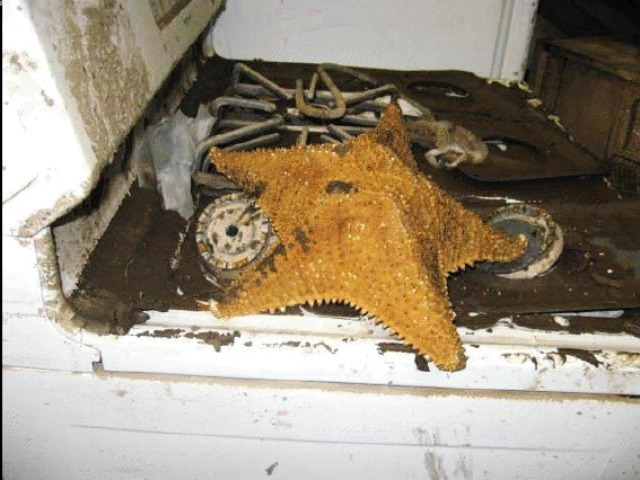 A starfish was among the debris washed into the flooded P.S. 239 in Brooklyn after Hurricane Sandy.  (NYC DOE)