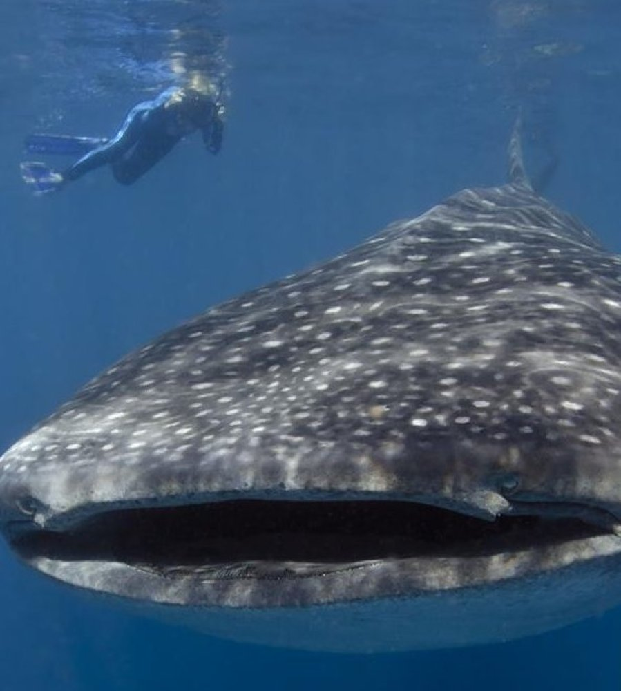 In the last few years, Isla Mujeres has become THE place to snorkel with whale sharks. These sharks are the antithesis of the