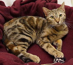 Gabby is an 8-month-old Domestic Shorthair/Bengal Mix. Visit Gabby at the Evanston Animal Shelter, 2310 Oakton Street. <a hre