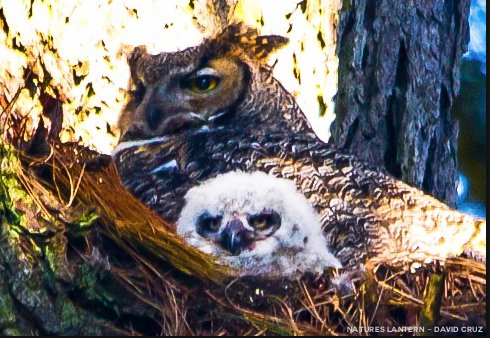 Golden Gate Park is now home to two new Great Horned Owl chicks. The adorable chicks pass the days sleeping under their mothe