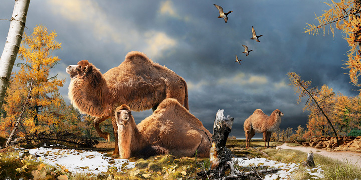 Illustration of the High Arctic camel on Ellesmere Island during the Pliocene warm period, about 3.5 million years ago. The c