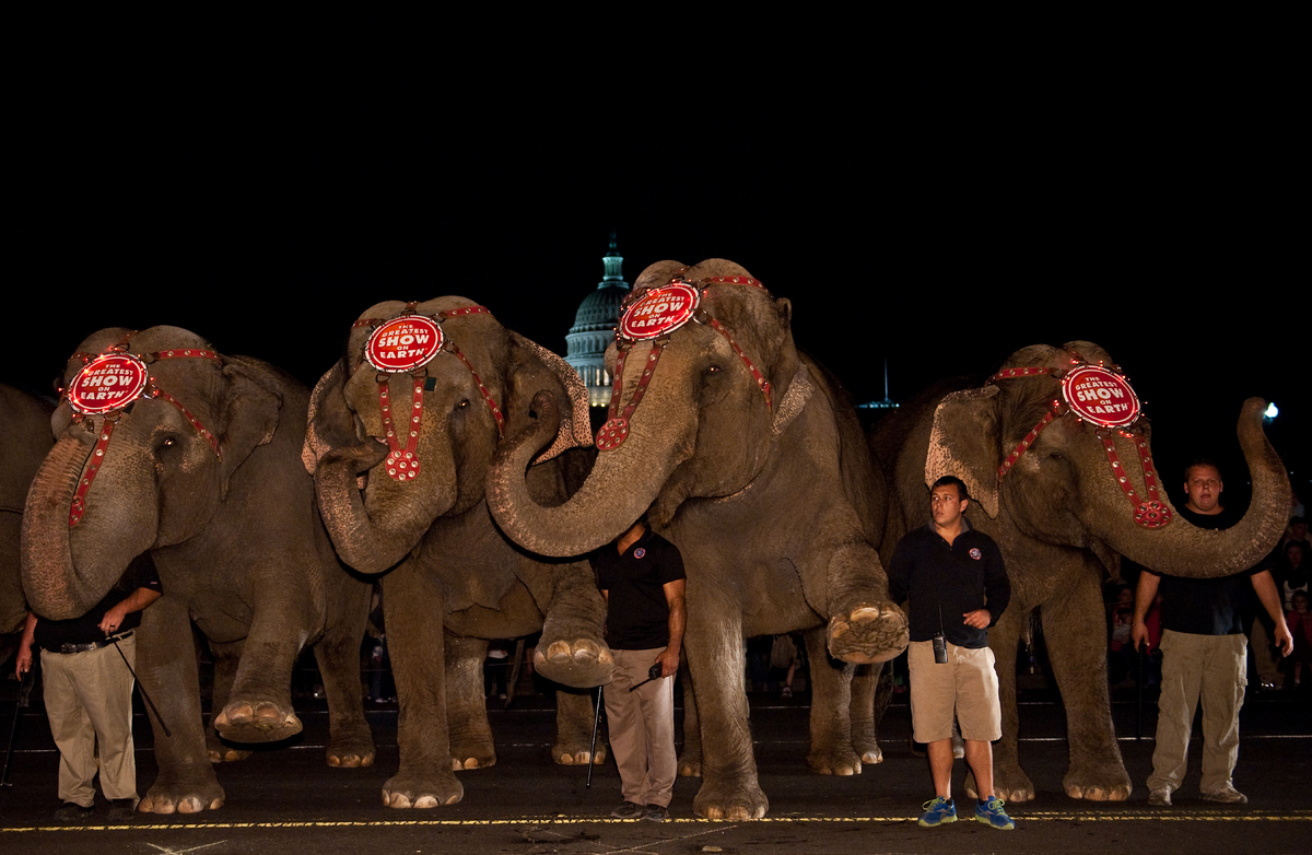 Elephants pose with their handlers in front of the US Capitol on March 13, 2012 during the annual Pachyderm Parade to celebra