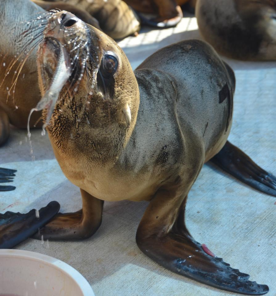 One of the nursery sea lion pups gets a first taste of fish.