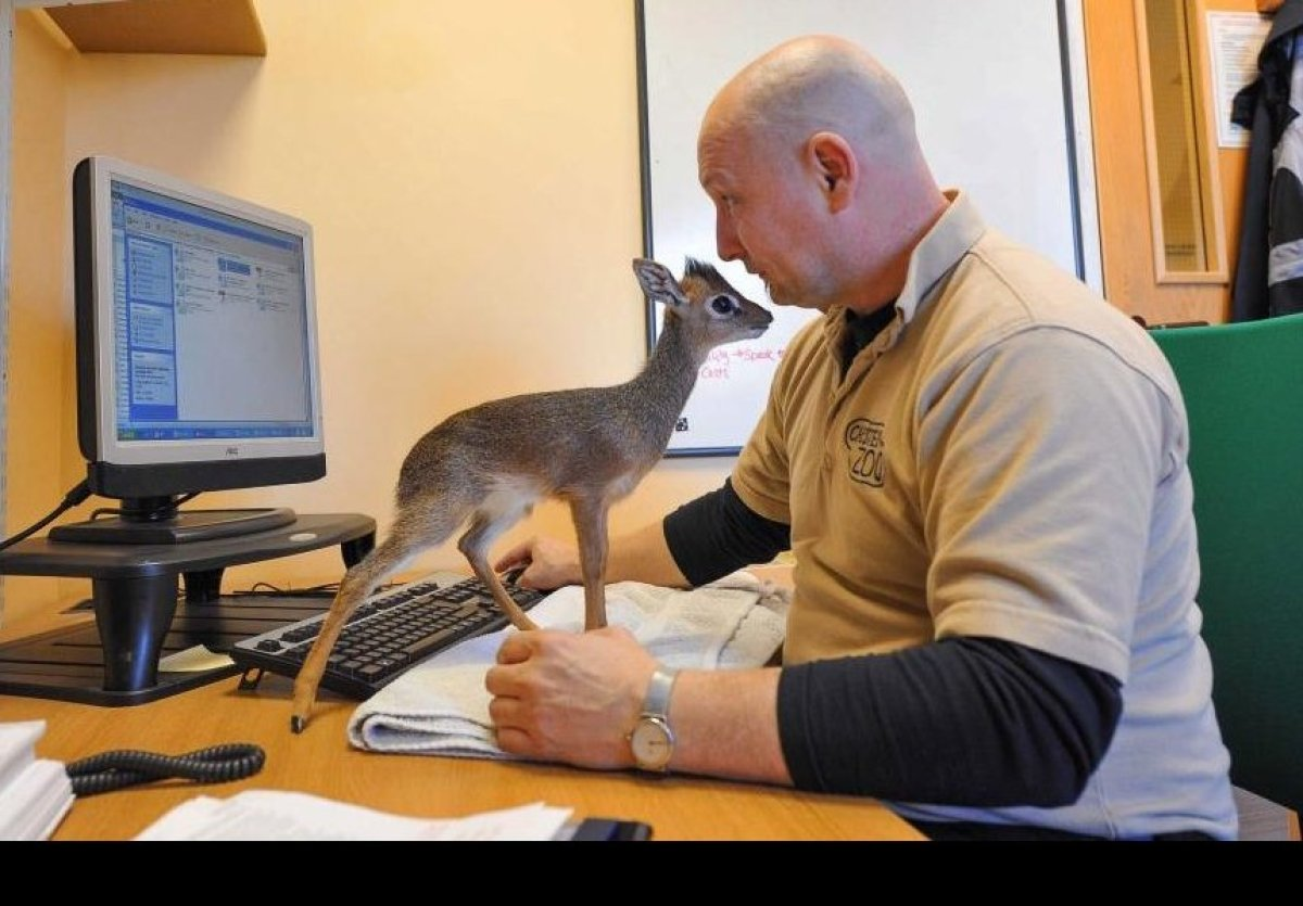 Chester Zoo's dik-dik calf helps their Curator of Mammals with some administrative tasks.   Photo credits: Chester Zoo
