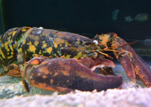 Calvin the calico lobster now calls Biomes in North Kingstown home.