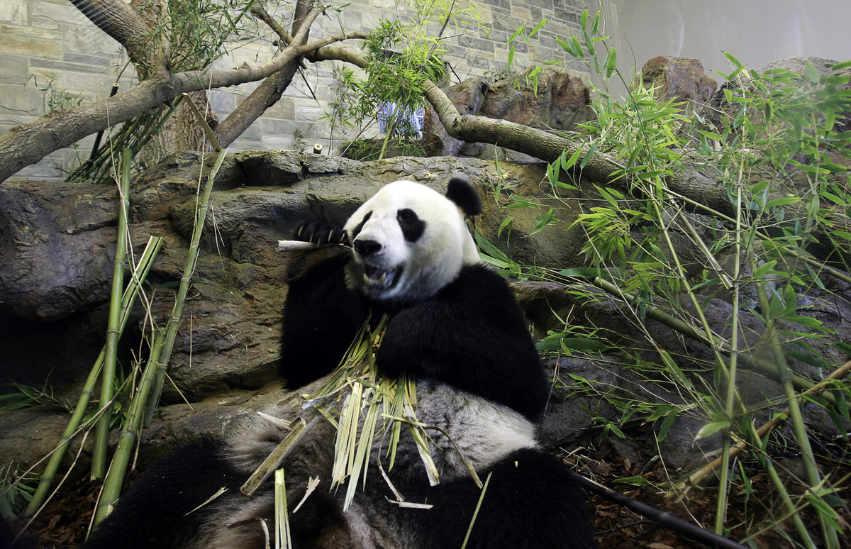 """The zoo is <a href=""""http://www.zoossa.com.au/adelaide-zoo/animals-exhibits/animals/mammals?species=Giant%20Panda"""" target=""""_bl"""