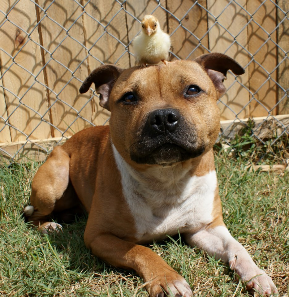 """Boom, a Staffordshire Bull Terrier, chilling with his friend Itty.  (See more photos on <a href=""""http://www.facebook.com/medi"""
