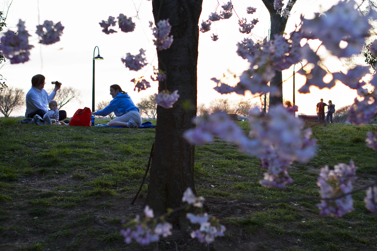 As the sun sets, cherry blossoms appear to float suspended in the air, as a family picnics by cherry blossom trees in bloom a