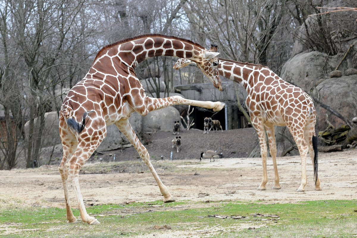 Brookfield Zoo Giraffes Frolic Play In Warmer Spring