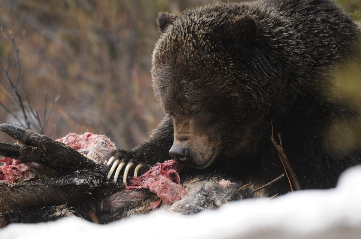 Bear No. 122 feeds on an moose carcass in 2012.