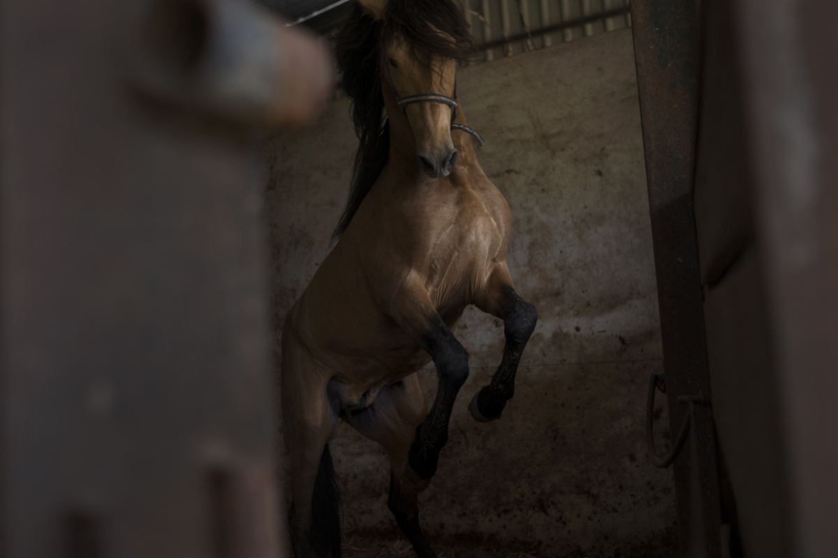"""In this photo taken on Monday, April 8, 2013, a """"Pura Raza Espanola"""" or Pure Spanish Breed horse belonging to breeder Francis"""