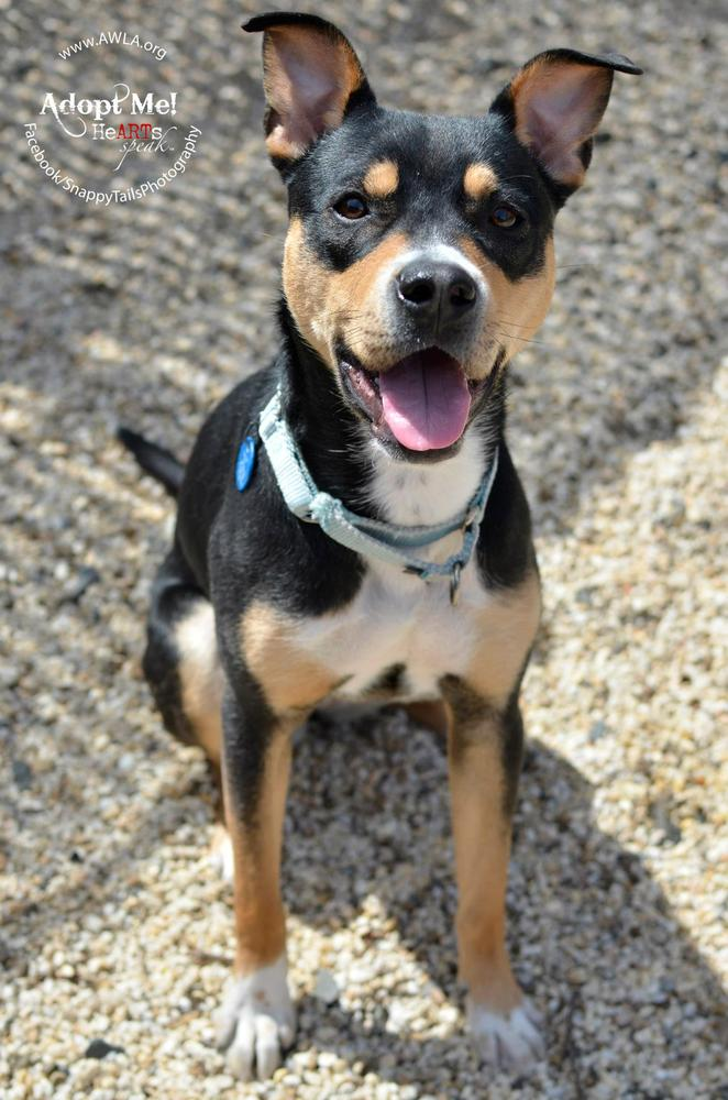 This 1-year-old smarty pants is an excellent candidate for advanced training like agility or nose work. AWLA offers discounte