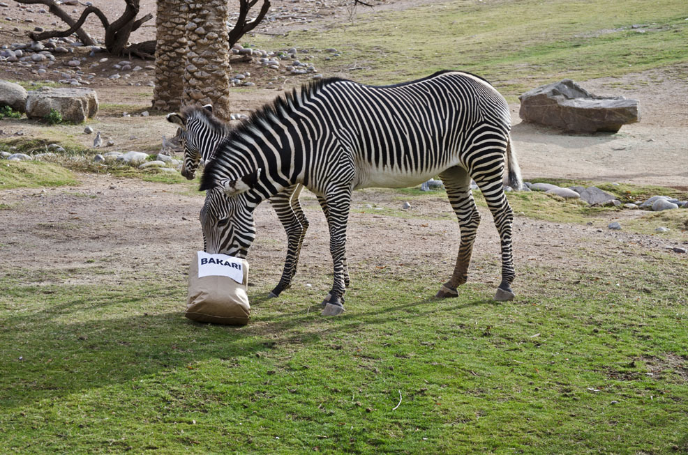 This image provided by the Phoenix Zoo shows Masika selecting a name for her newborn Grevy's zebra foal by choosing one of th
