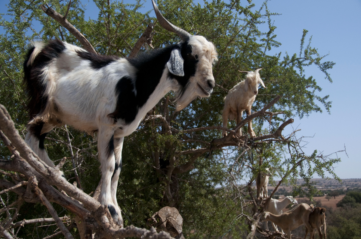 This photo taken on August 26, 2012, shows goats climbing up an Argan tree to its fruit, near Essaouira. AFP PHOTO \FADEL SEN