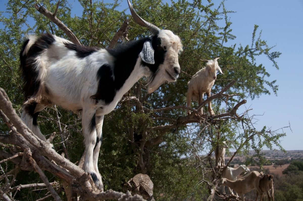 This photo taken on August 26, 2012, shows goats climbing up an Argan tree to its fruit, near Essaouira. AFP PHOTO \FADEL SEN