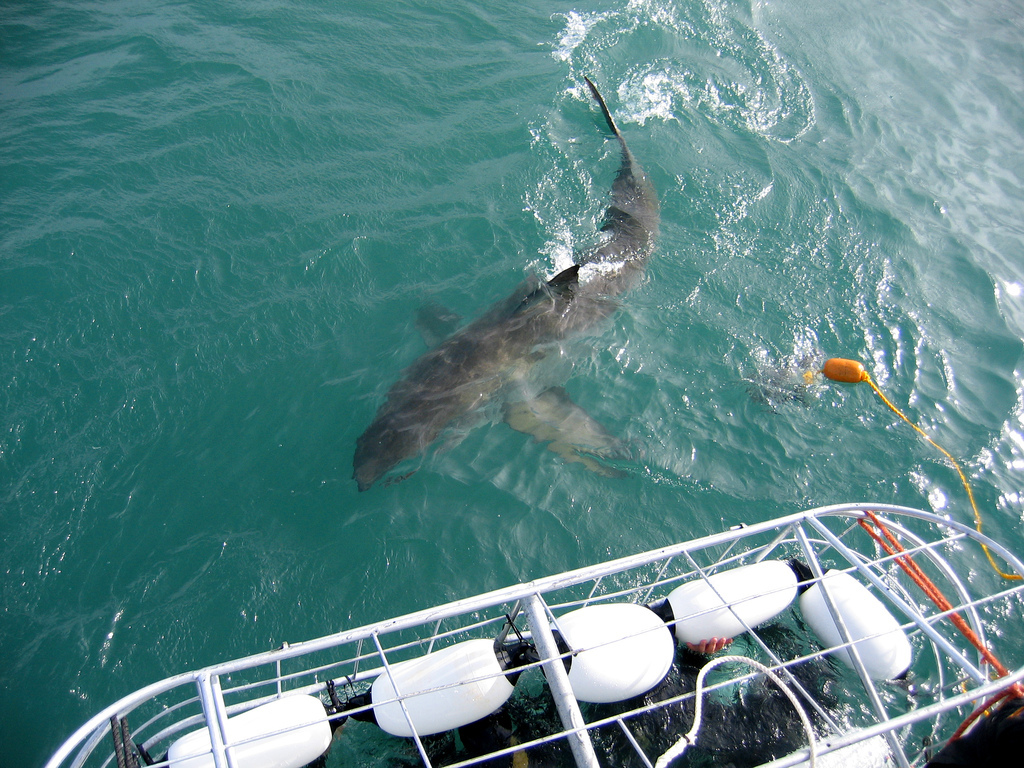 "If you want to see Great White sharks, Gansbaai in South Africa, off the coast of Capetown is the place to go.   ""Seal Island"