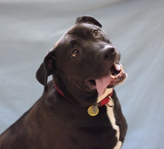 Beau is a male 2-year-8-month-old Labrador Retriever/American Pit Bull Terrier mix. Visit Beau at the Naperville Area Humane