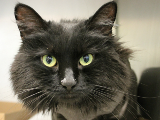 Shera is a friendly girl, whose photo doesn't do her welcoming nature justice. She came to AC&C with a very matted coat, sinc