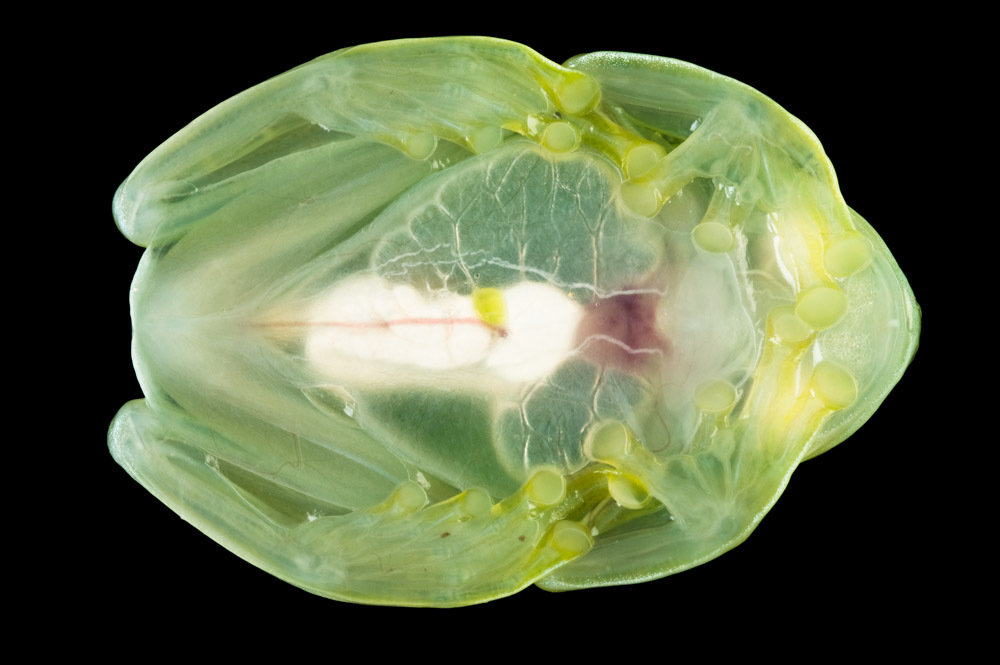 """<em>Hyalinobatrachium pellucidum</em>, also known as the """"glass frog,"""" is native to the cloud forests and rivers of Ecuador."""