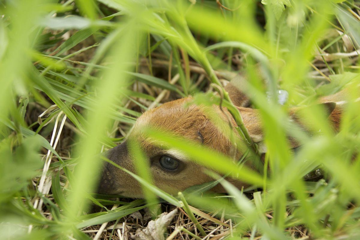 Newborn fawn hiding in grass.