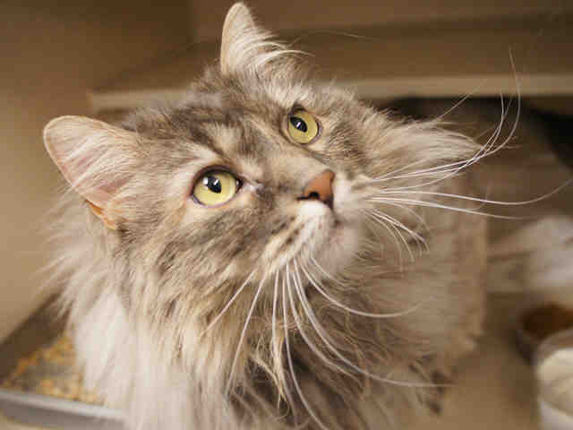 """Faye is a blue cream domestic longhair mix. She's described as being shy at first, but """"very affectionate"""" once she gets to k"""
