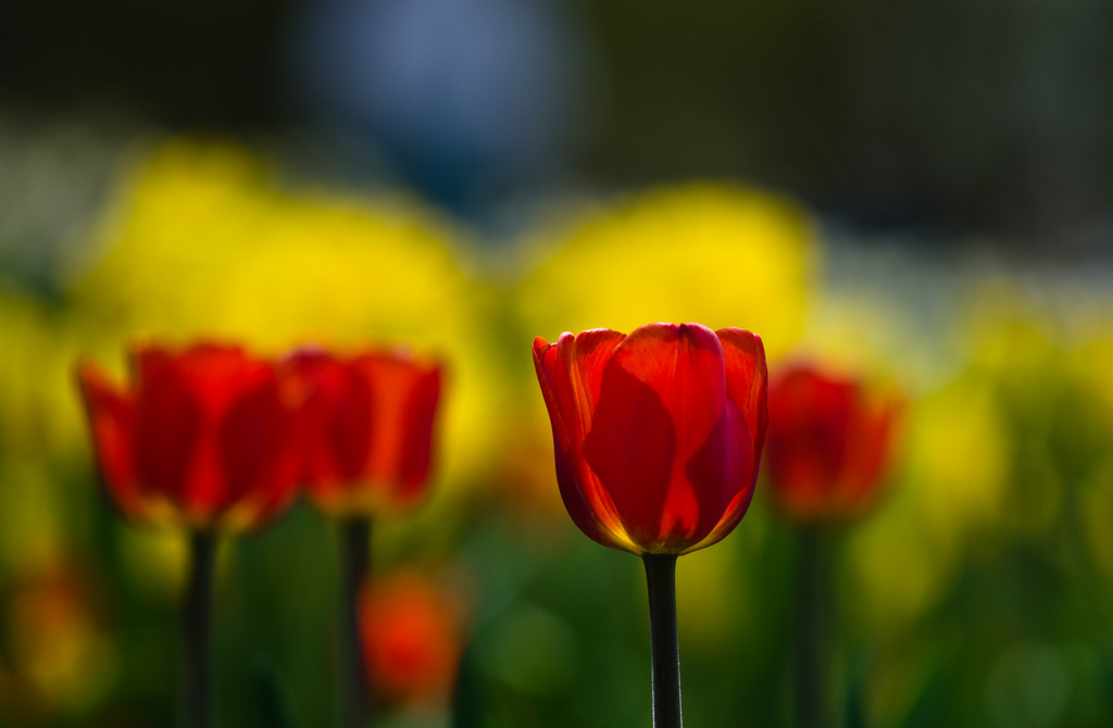 "The Tulip Time Festival took over Holland, Mich. this past week, with explosions of natural color. <a href=""http://www.huffin"