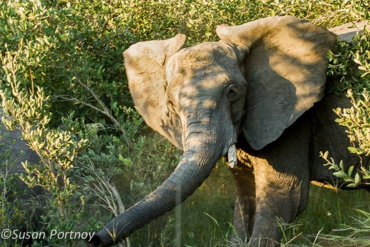 Surprised to see a jeep full of travelers, this elephant proceeded to shake its head, wave its trunk and in general, express