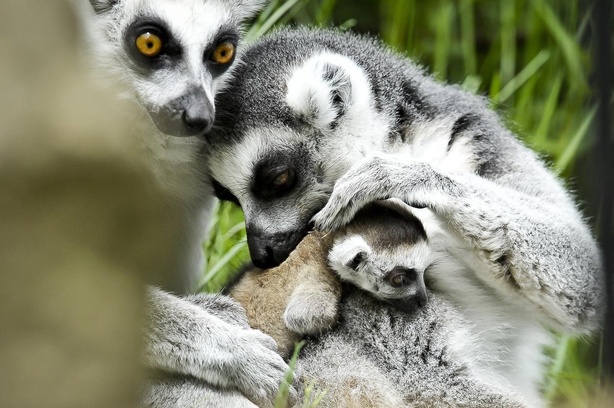 Rascal the newborn ring tailed lemur is cuddled by mum Roxy (right) and dad Rakota (left) at Bristol Zoo Gardens, where Rasca