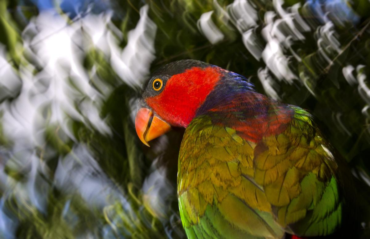 A black-capped lory (Nuri Kepala Hitam) is seen in the outskirts of Manokwari, Papua, Indonesia. Greenpeace is in Indonesia t