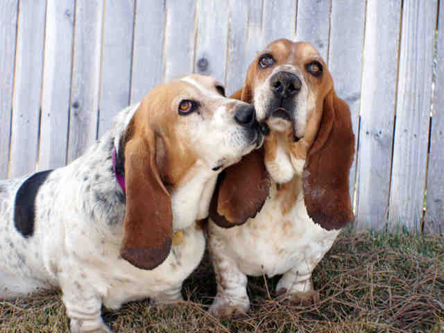 Fred and Ethel are adorable purebred tricolor basset hounds and they're best friends (in case you couldn't tell).  <strong><e
