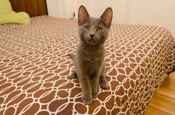 """From Petey's foster home: """"Petey is the most affectionate kitten ever. He loves to get cuddles and will happily purr in your"""