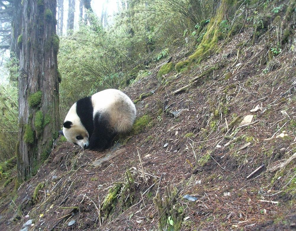 Giant Panda (Ailuropoda melanoleuca) captured in Wang Lang NR, Sichuan.