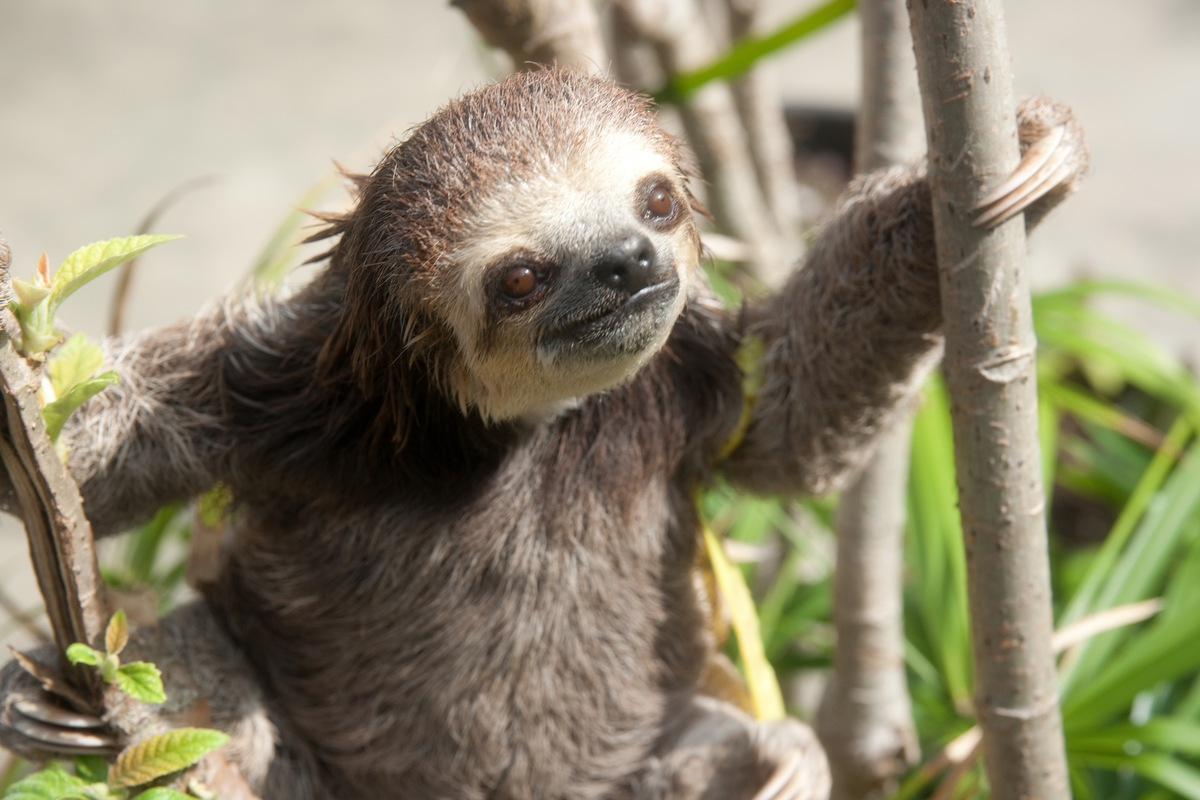 In Paramaribo, Suriname, sloths displaced by deforestation are rescued and released back into the wild with the help of Green