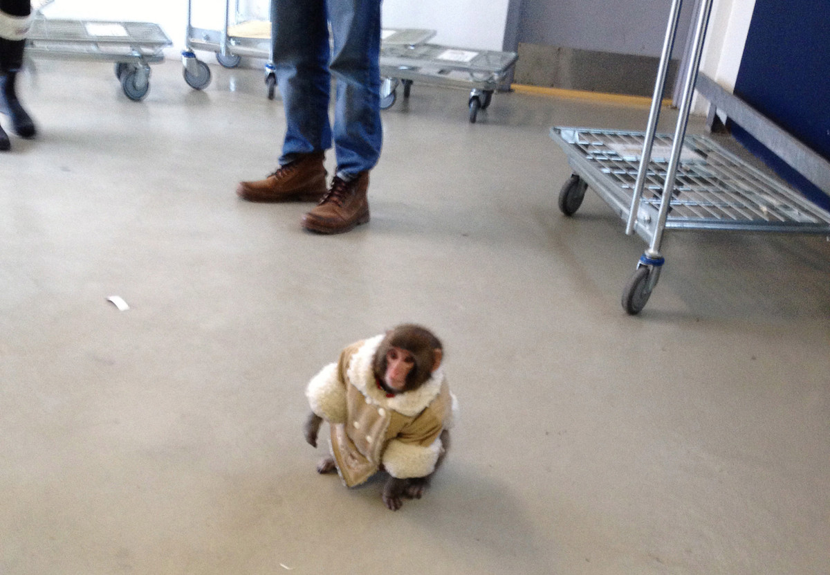 After making headlines when he strolled around IKEA, everyone's favorite jacket-wearing monkey is back in the news. According