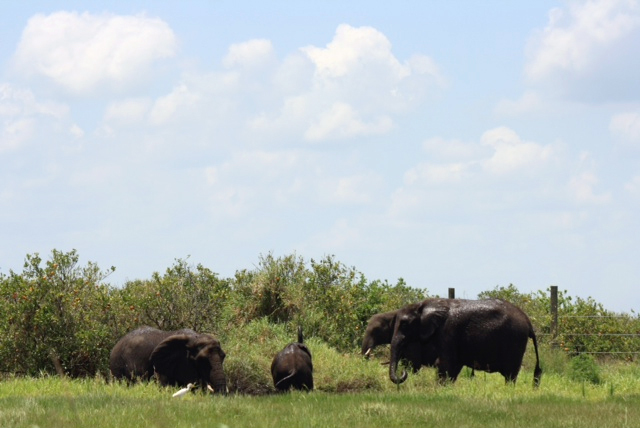 Elephants foraging at The National Elephant Center in Fellsmere, Fla.