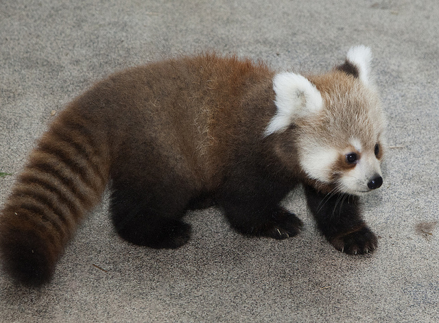 Thunder, lightning and strong winds greeted the National Zoo's two female red panda cubs when they were born June 17,  and th
