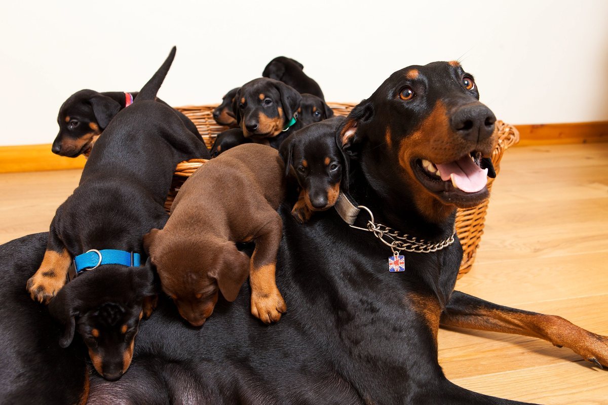 A couple told by a vet their Doberman was expecting six puppies were stunned when their dog gave birth to THIRTEEN - the bigg