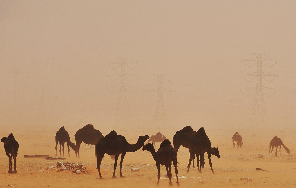 A sand storm envelops camels in the desert region of al-Hasa, some 370 km east of the Saudi capital Riyadh, on June 16, 2013.
