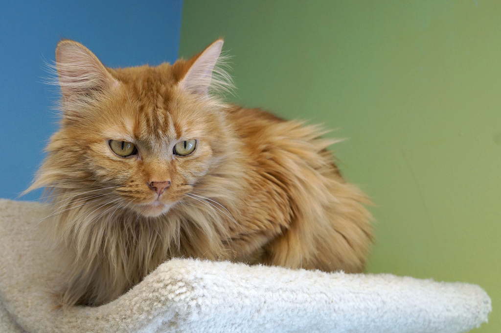 """Faldo is a male 5-year-old cutie. Visit Faldo at the Tree House Humane Society, 1212 W. Carmen Ave., Chicago. <a href=""""http:/"""