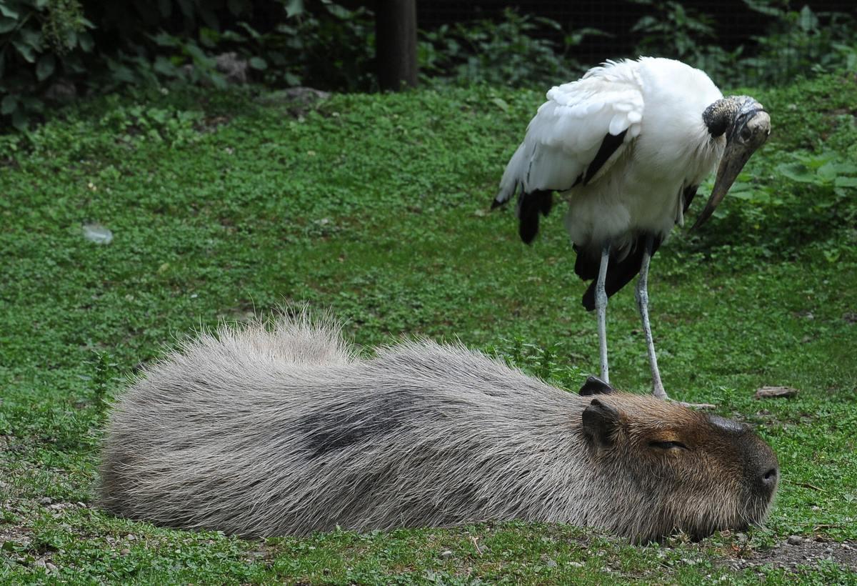 An African stork and a capybara are seen at Schonbrunn zoo in Vienna on June 10, 2009. Schonbrunn zoo presents an ecological
