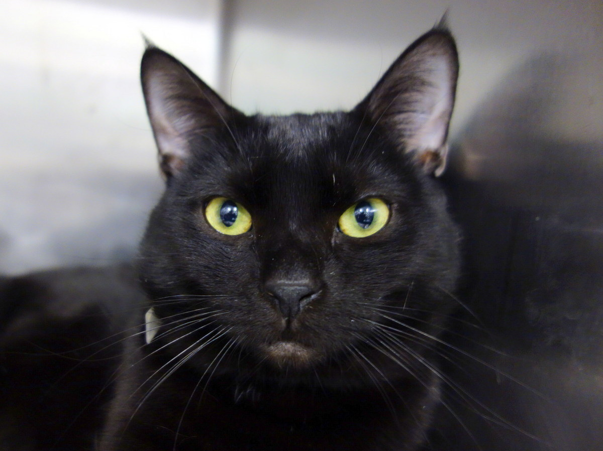 With a shiny black coat and green piercing eyes, Eddie is quite the looker. This handsome boy, about two years old, came to A