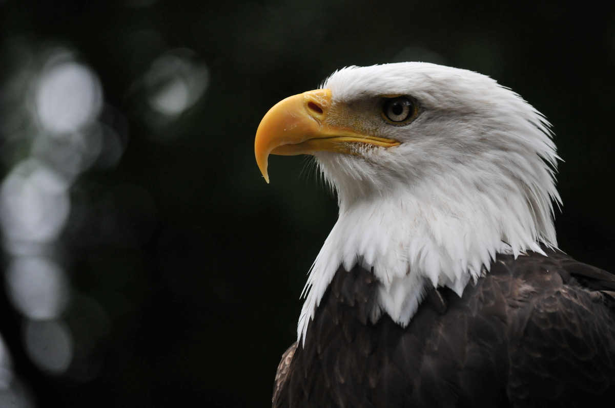 """Our national bird, the bald eagle, is the only eagle unique to North America. <a href=""""http://animals.nationalgeographic.com/"""