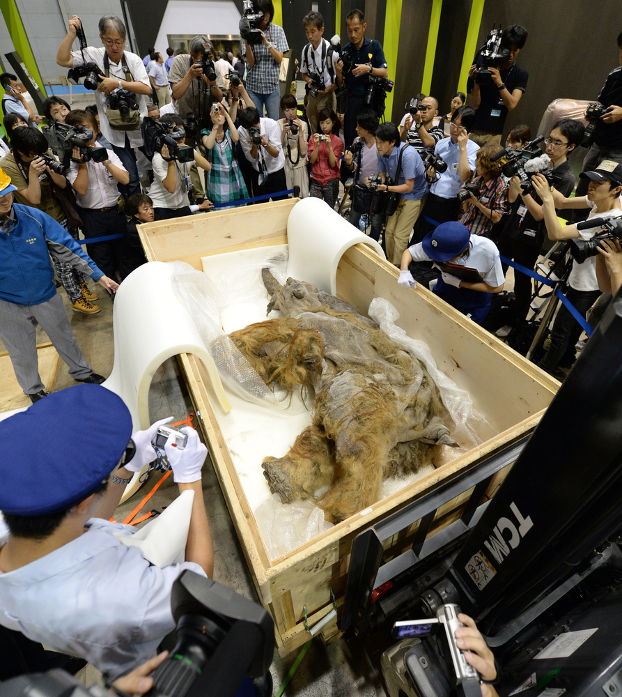 Members of Japan customs (lower) inspect a 39,000-year-old female baby woolly mammoth Yuka from Siberian permafrost upon its