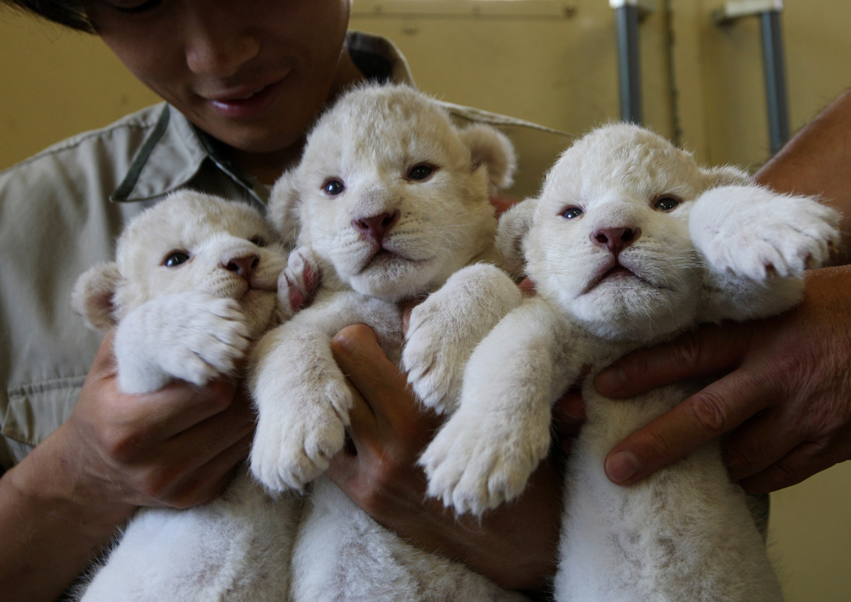 HIMEJI, JAPAN - JULY 09:  Nine-day-old lioness cubs are held by zoo keepers at Himeji Central Park on July 9, 2013 in Himeji,